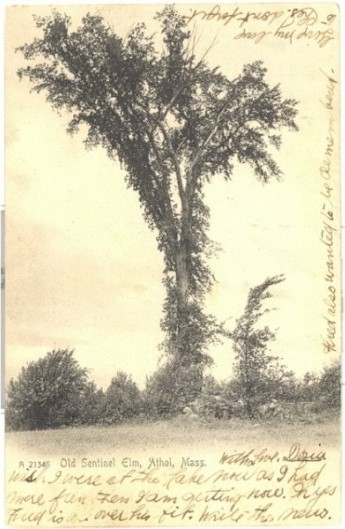 Old postcard showing Sentinel Elm in Athol, Mass.